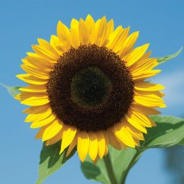 Background Sunflower Wallpaper